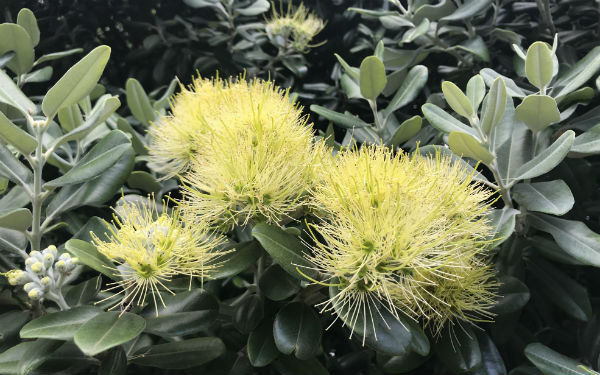 Yellow pohutukawa create excitement at Māngere Wastewater Treatment Plant